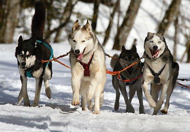 chiens de traineau qui courent